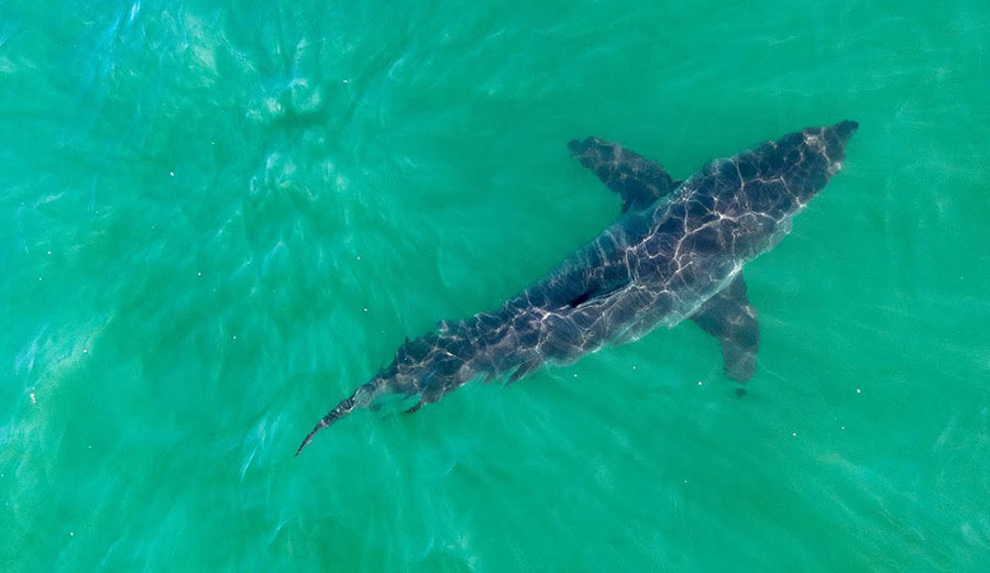 Watch These Graceful Great Whites Cruising the California Coastline