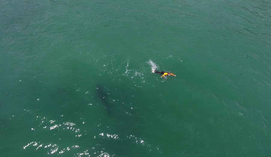 Drone Captures Great White Checking Out Swimmer in Monterey Bay