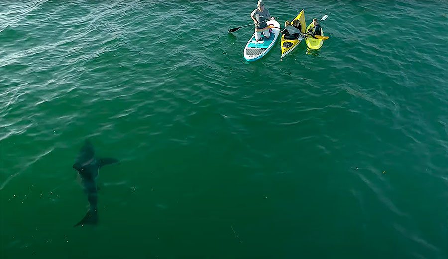 Watch This Curious 9-Foot Great White Inspect a Family of Paddlers
