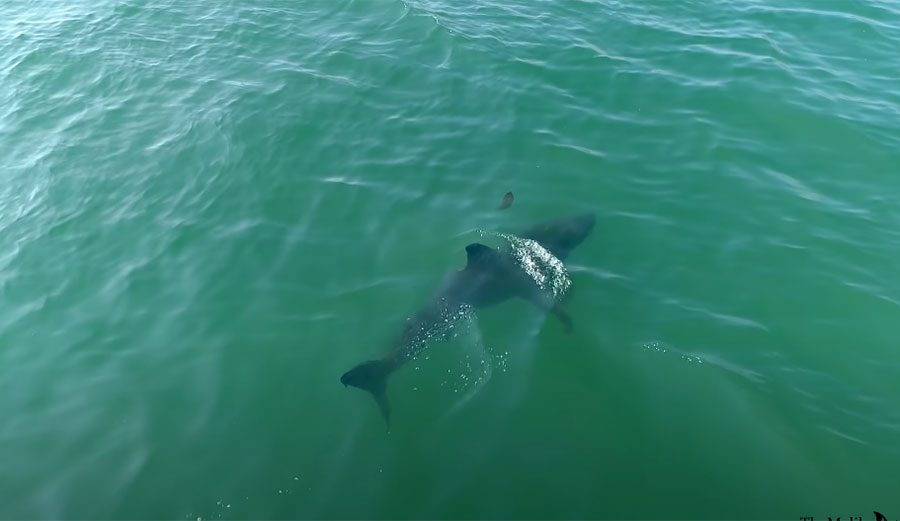 Drone Warns Surfers That a Great White Shark Is a Little Too Close for Comfort