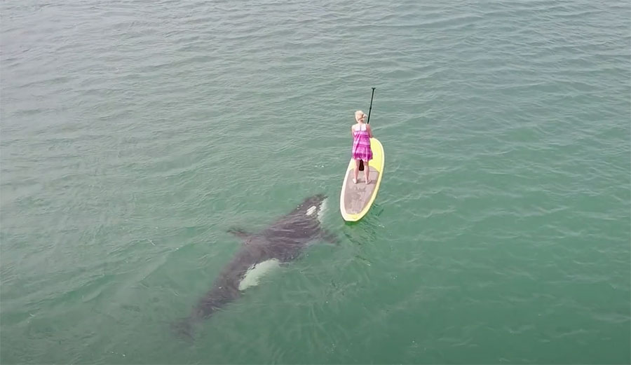 Woman Paddle Boarding With Orcas Gets the Show of a Lifetime in Baja California