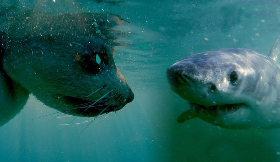 Robot Seal Captures Stunning Up-Close Footage of Shark Predation