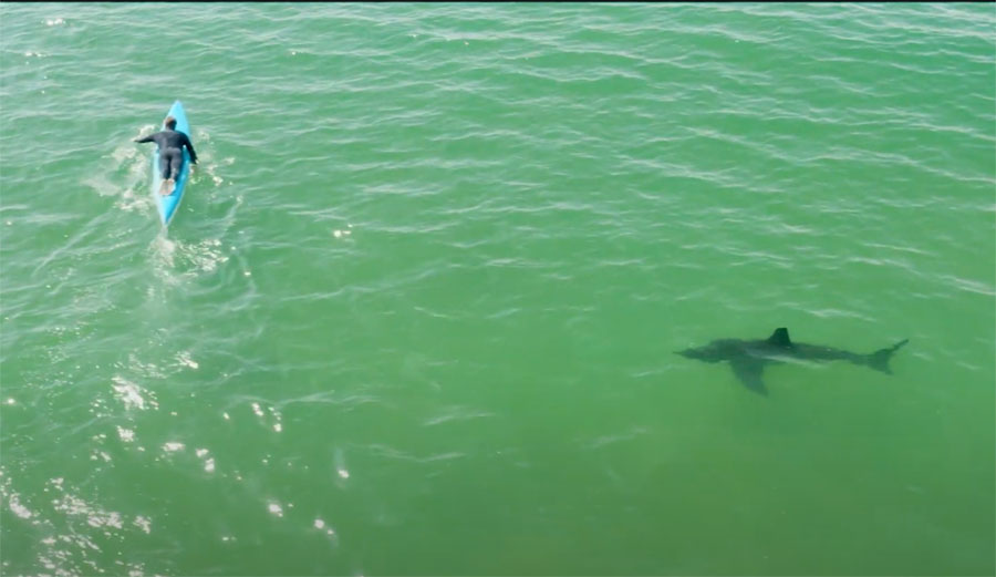 Paddle Boarder Doesn't Notice Great White Shark Behind Him