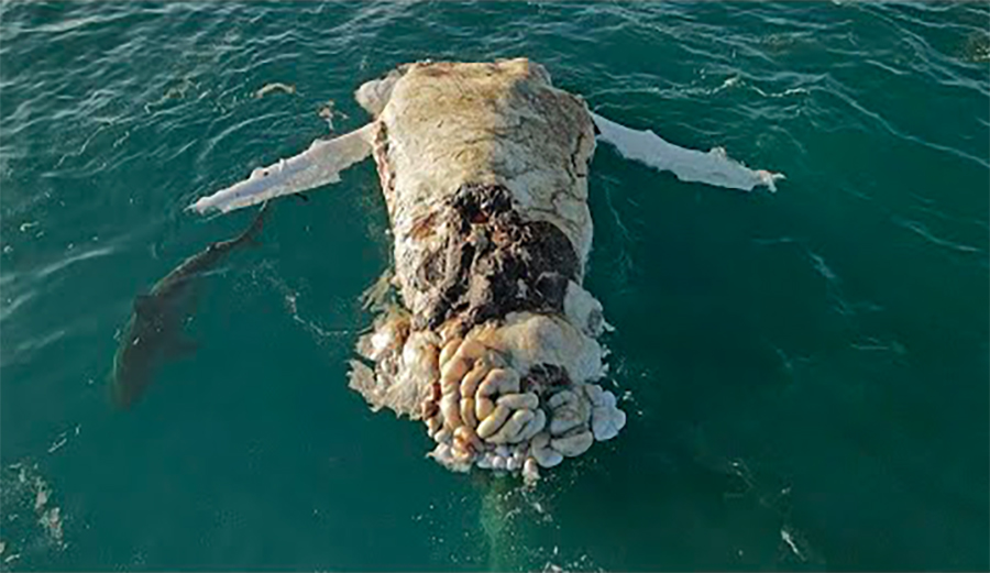 Drone Captures Large Tiger Sharks Gnawing on Dead Whale