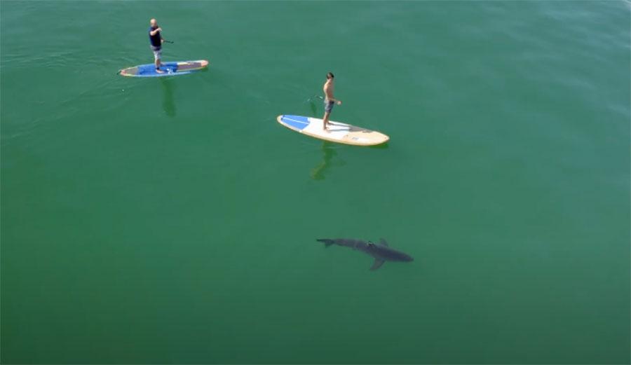 Stand Up Paddler Falls Near Great White Shark