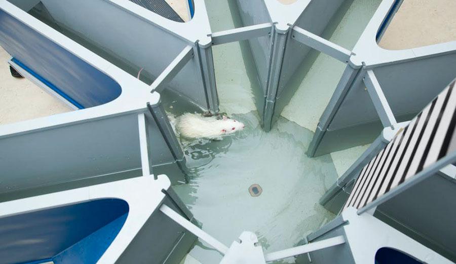 Rats swimming