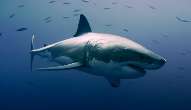 Two Australian Documentaries Examine the Detriments of Shark Culling