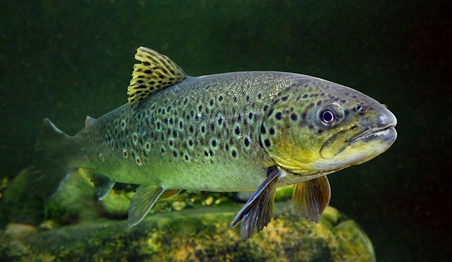 Meth fish