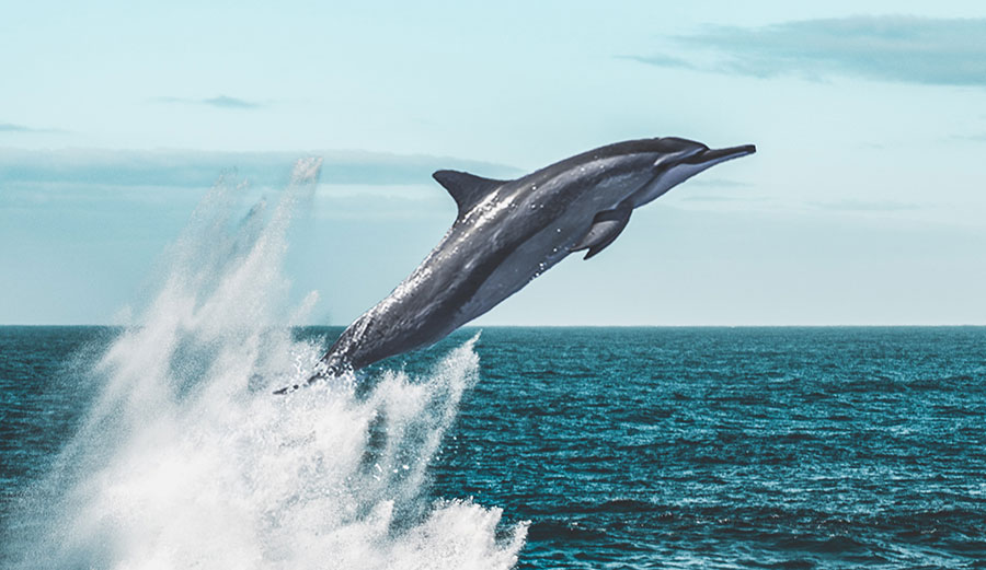 Spinner dolphins leaping out of the water.